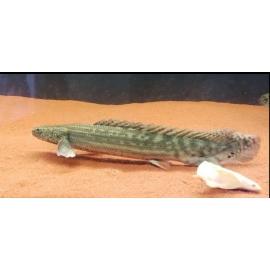 Polypterus bichir gr