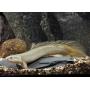 Polypterus Senegalus Comun Pq