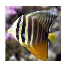 tang sailfin gr