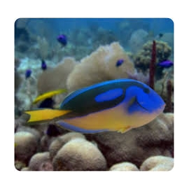 tang hepatus yellow belly md