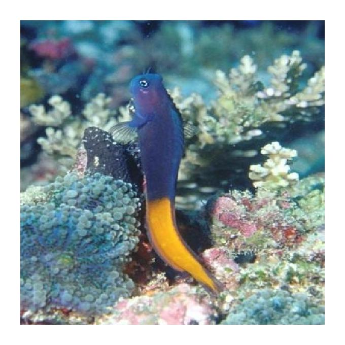 Blenny bicolor