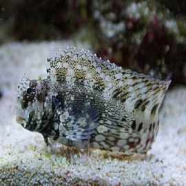 Blenny rock algae