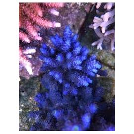 coral acropora tennius blue pq