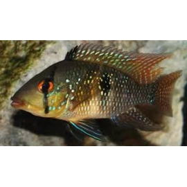 geophagus md