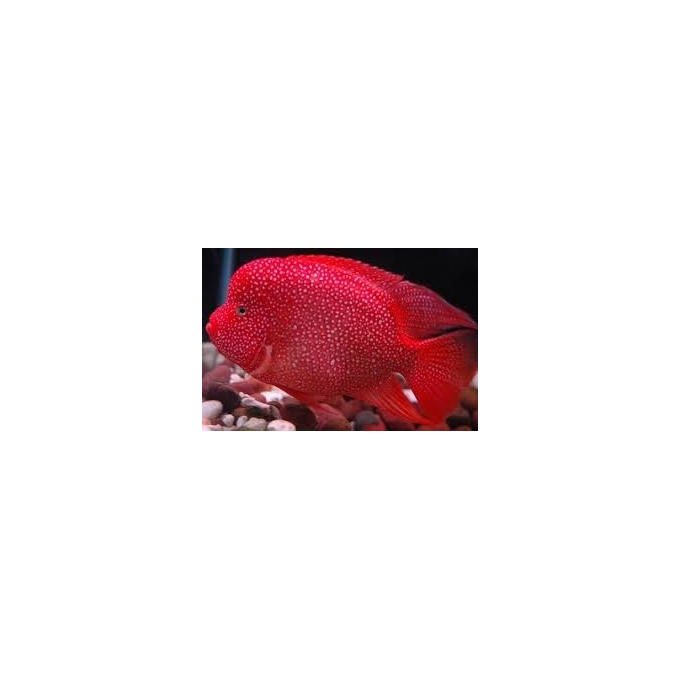 Cichlasoma Texas Red Gr
