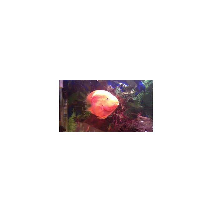 Papagaio Coracao Md