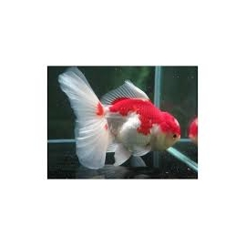 Kinguio Oranda Red White Md