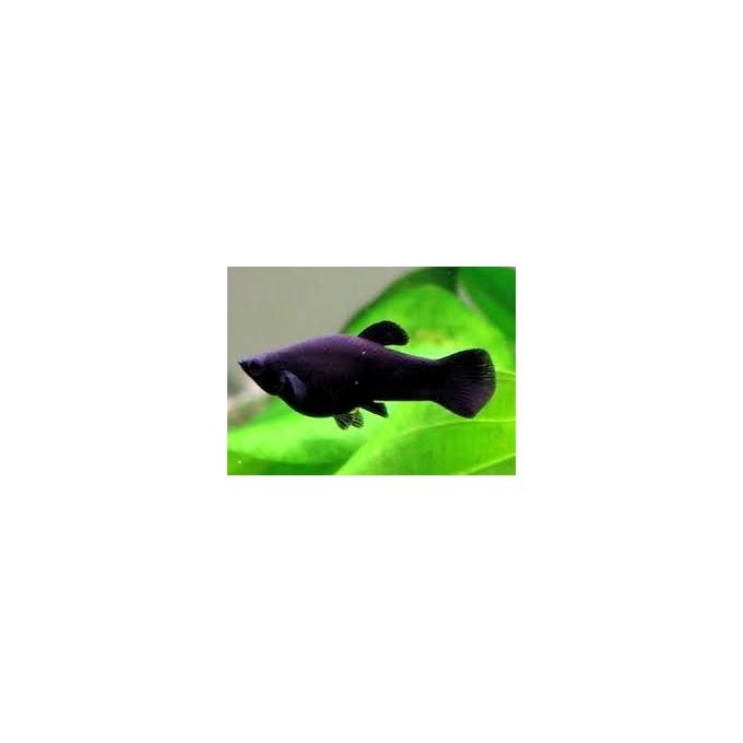 Molinesia Preta