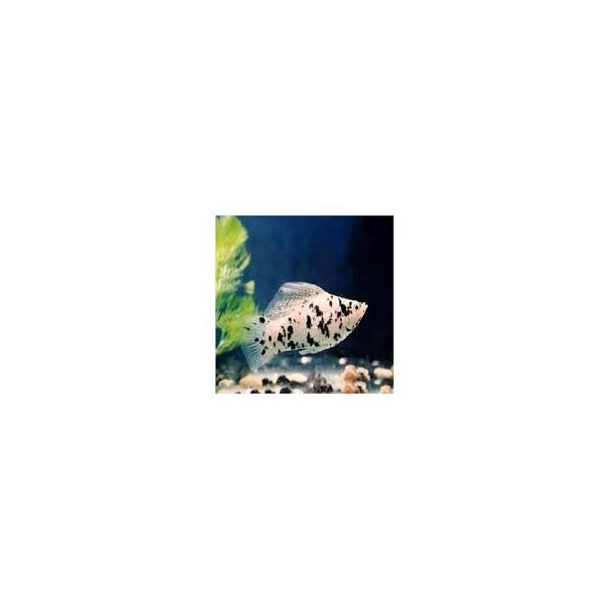 Molinesia dalmata