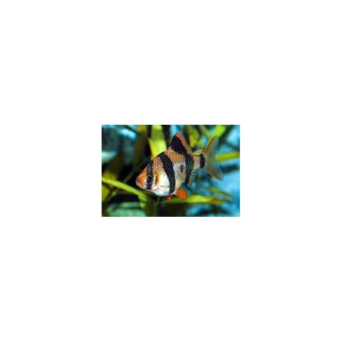 Barbus Sumatra Peq