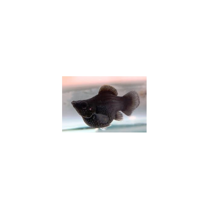 Molinesia Balao Preta