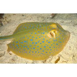 arraia blue spotted 20cm