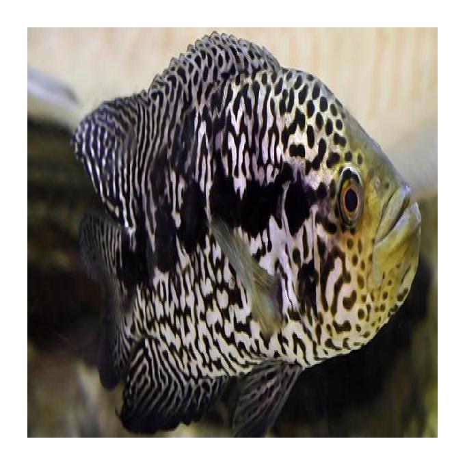 Cichlasoma jaguar