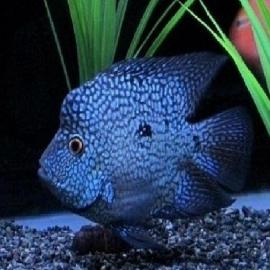 Cichlasoma texas blue med
