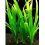 Planta N Vallisneria Comum