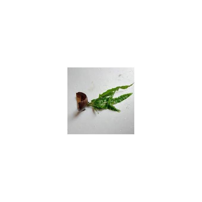 Planta N Microsorum Coco