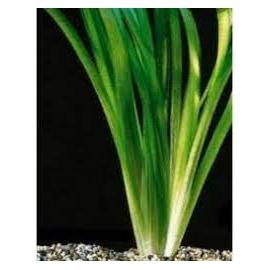 planta n valisneria gigante no vaso