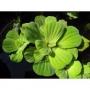 Planta N Alface D´agua