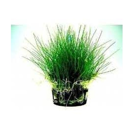 Planta N Eleocharis Minima Tk