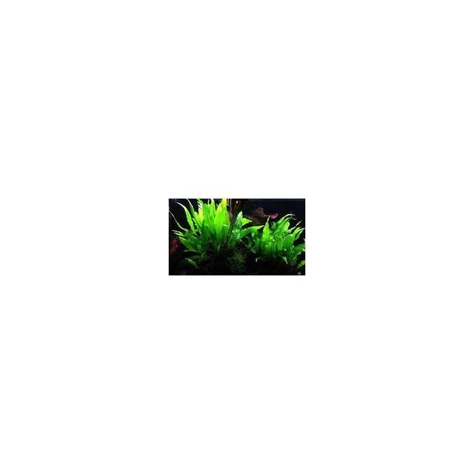Planta N Microsorum