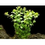 Planta N Rotala Rotundifolia Tk