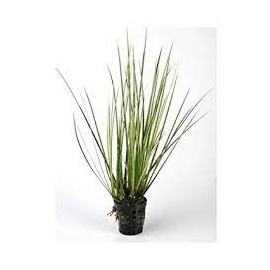 Planta N Acorus Gramineus Tk