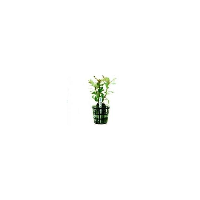 Planta N Ammannia Gracilis Tk