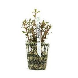 Planta N Bacopa Sp Red Tk
