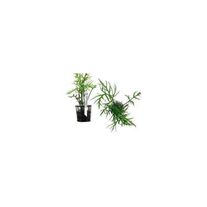Planta N Ceratopteris Cornuta Tk