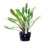 Planta N Cryptocorine Willisii Tk