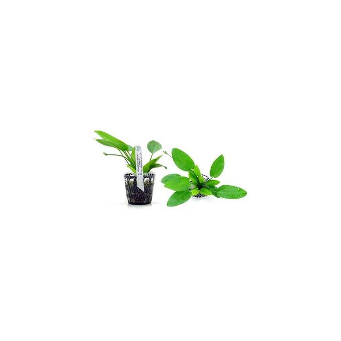 Planta N Echinodorus Leopard Tk