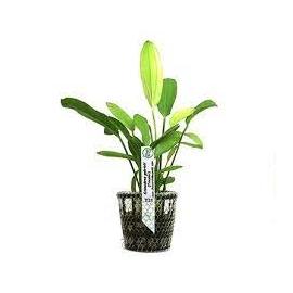 Planta N Echinodorus Tricolor Tk