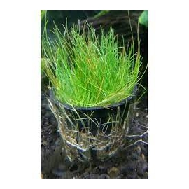 Planta N Eleocharis Acicularis Tk