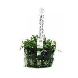 Planta N Glossostigma Tk