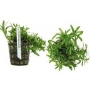 Planta N Heteranthera Zosterifolia Tk