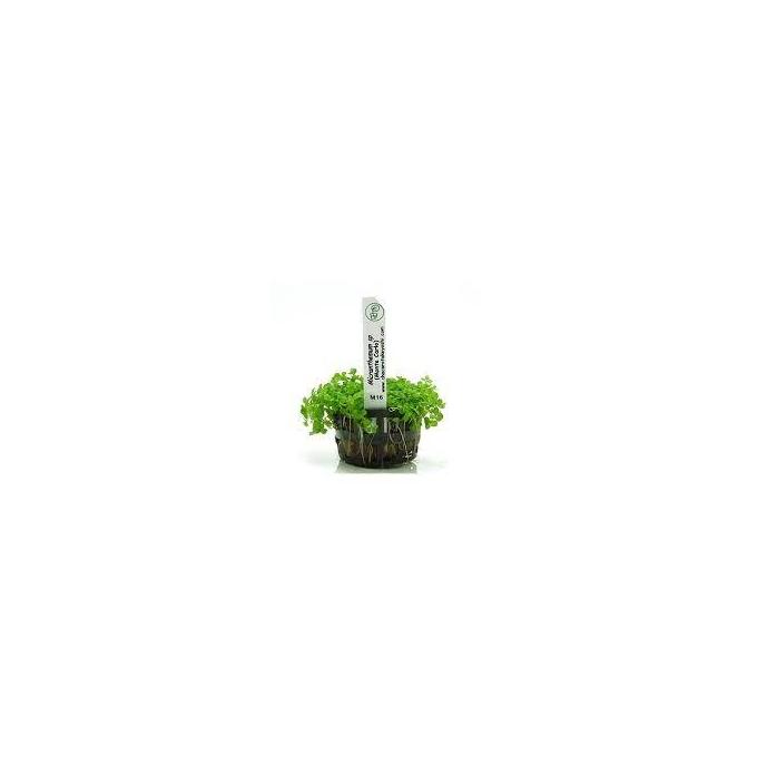 Planta N Micranthemum Sp Monte Carlo Tk