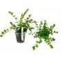 Planta N Rotala Sp Ceylon Tk
