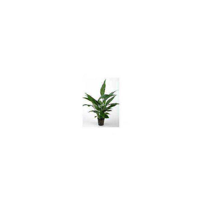 Planta N Spatiphilum Wallisii Tk
