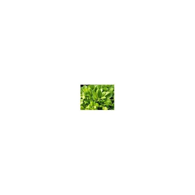 Planta N Alfacinha