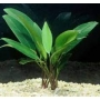 Planta N Anubia Lanceolata Gr