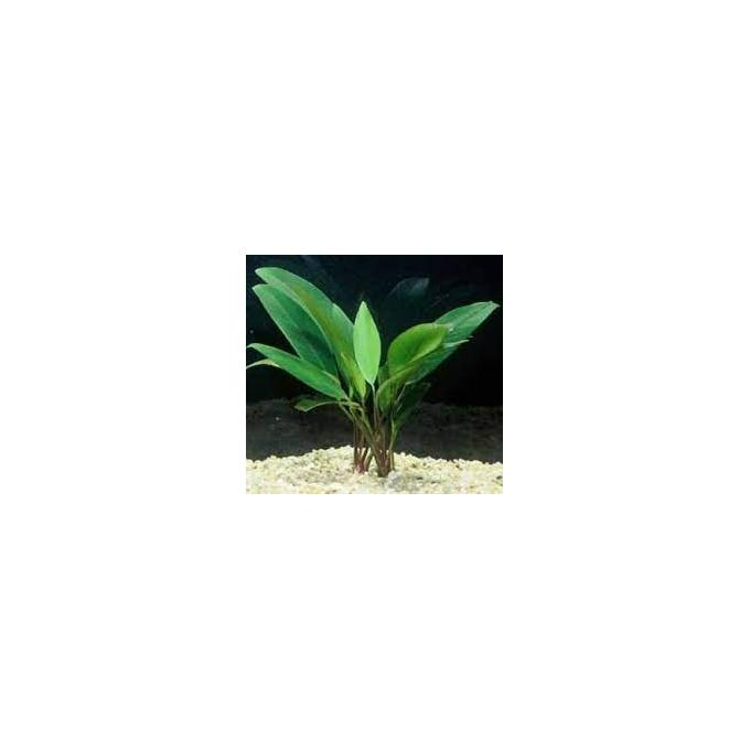 Planta N Anubia Lanceolata Peq