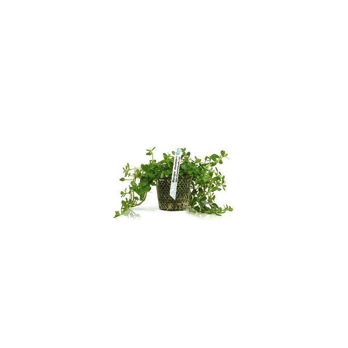 Planta N Bacopa Monnieri Tk