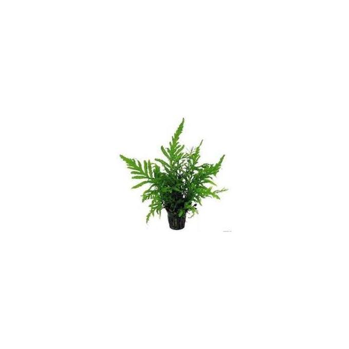 Planta N Bolbitis Heudelotii Tk