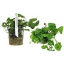 Planta N Cardamine Lyrata Tk