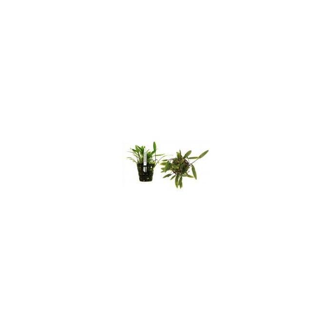Planta N Cryptocorine Cordata Tk