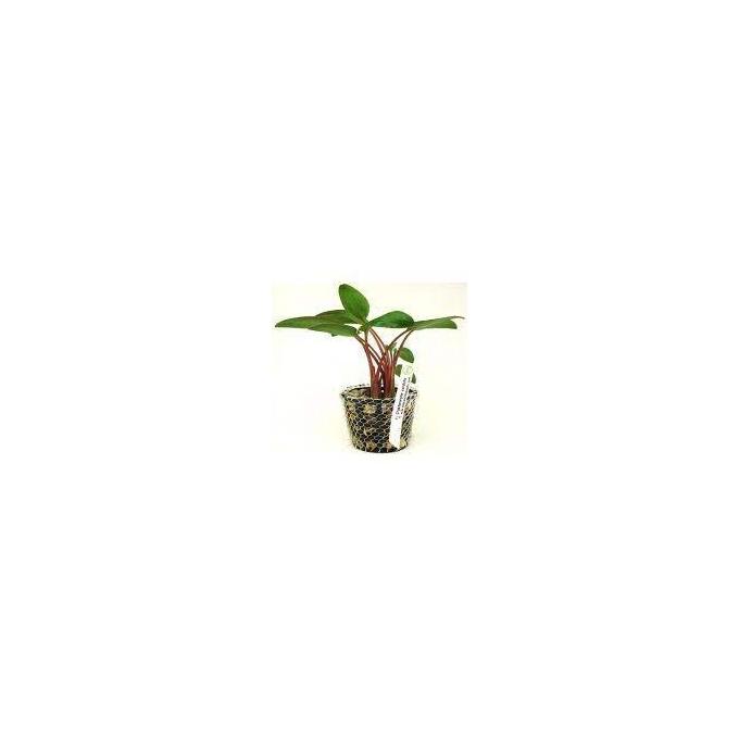 Planta N Cryptocorine Crispatula Bal Tk