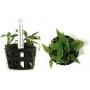 Planta N Cryptocorine Pontederifolia Tk