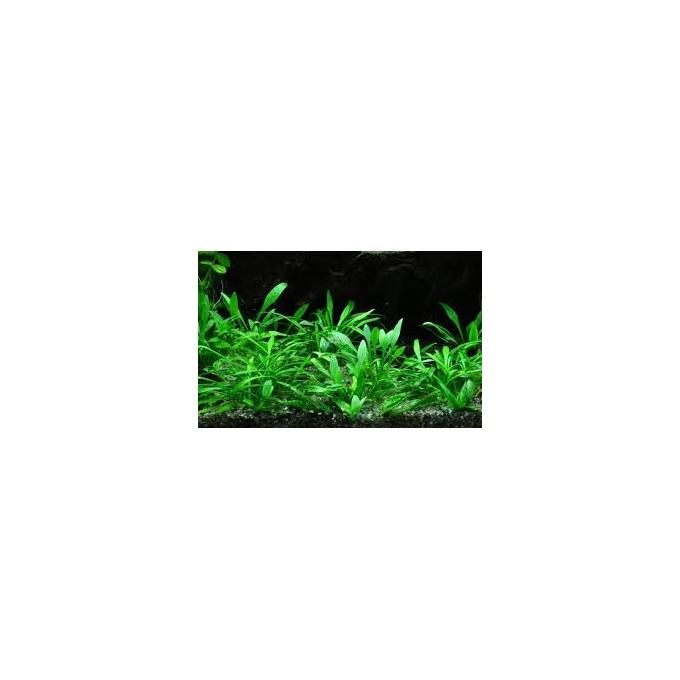 Planta N Cryptocorine