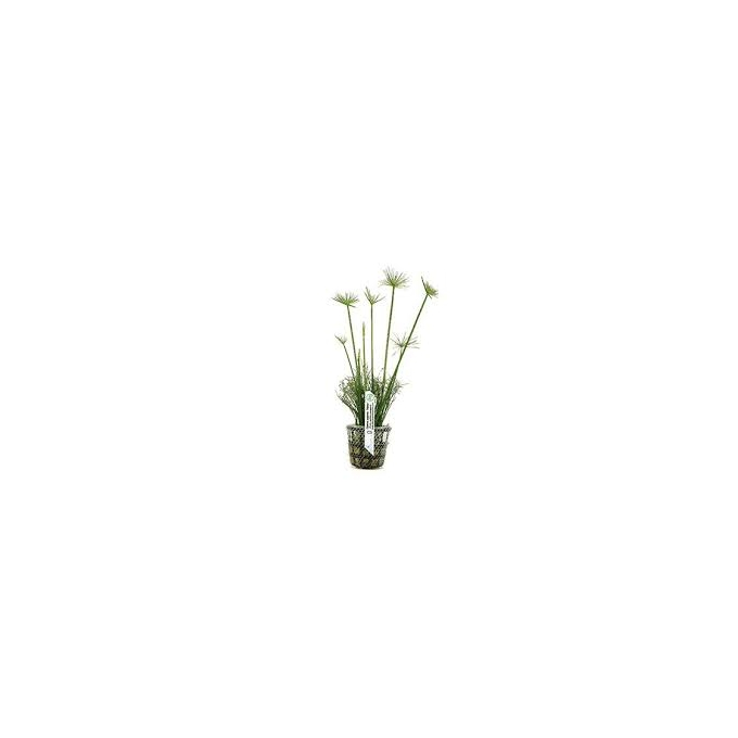 Planta N Cyperus Papyrus Tk