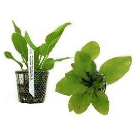 Planta N Echinodorus Cordifolius Tk